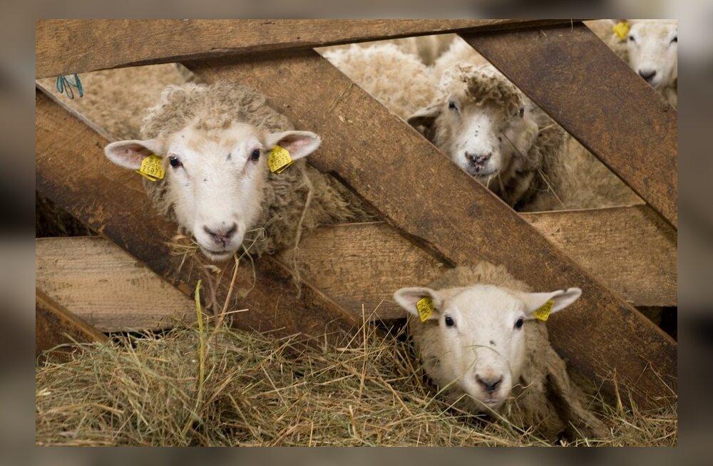"""""""Mõni päev hiljem oli minult varastatud lammastest valmistatud vorst poes müügil!"""""""