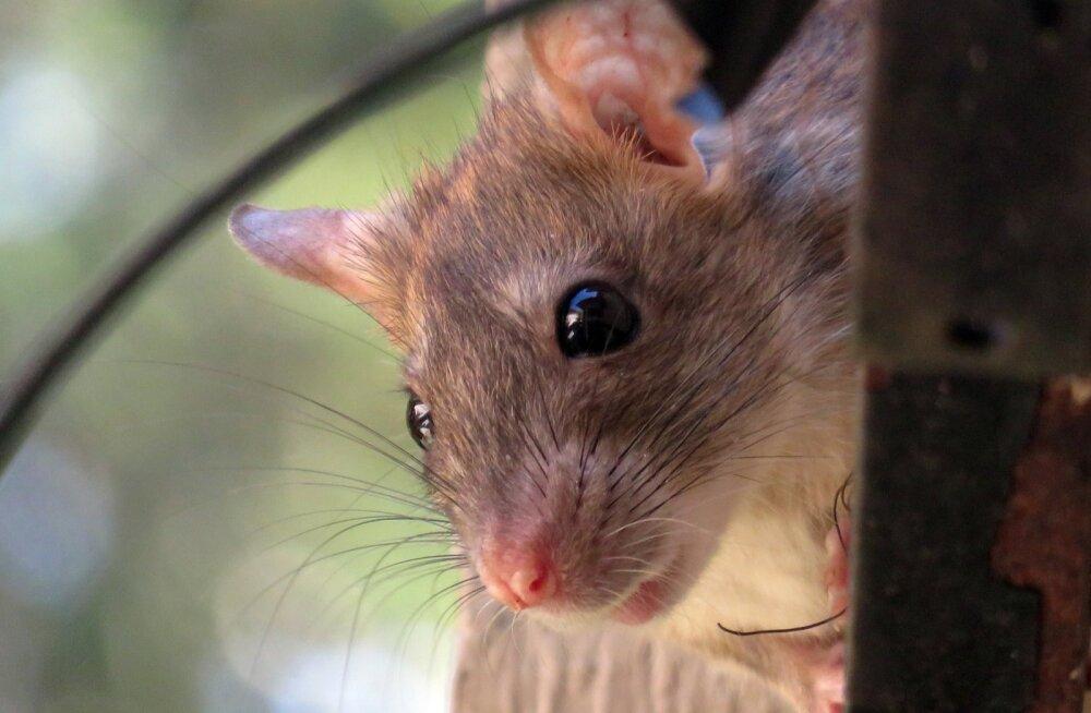 Nutikad närilised: 14 hämmastavat fakti rottide kohta