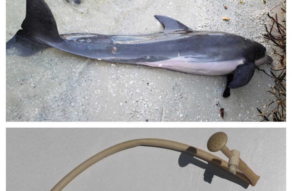 FOTO | Kas tõesti ei võeta õppust? Florida lähedalt leiti juba teine surnud delfiin, uskumatu ese kõhus