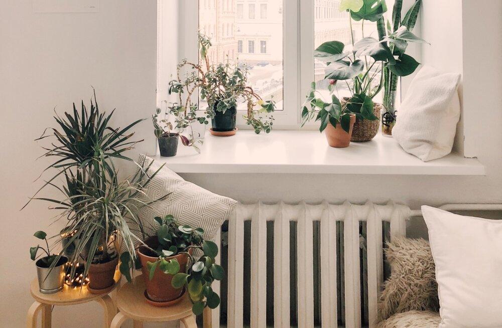 Too tuppa rõõmu: need taimed täidavad su kodu hea ja positiivse energiaga