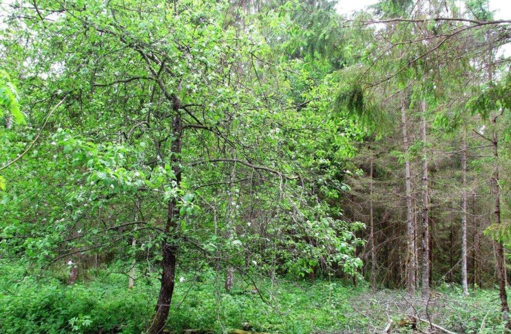 Leili metsalood | Talumetsa õunapuudel pole kiiret