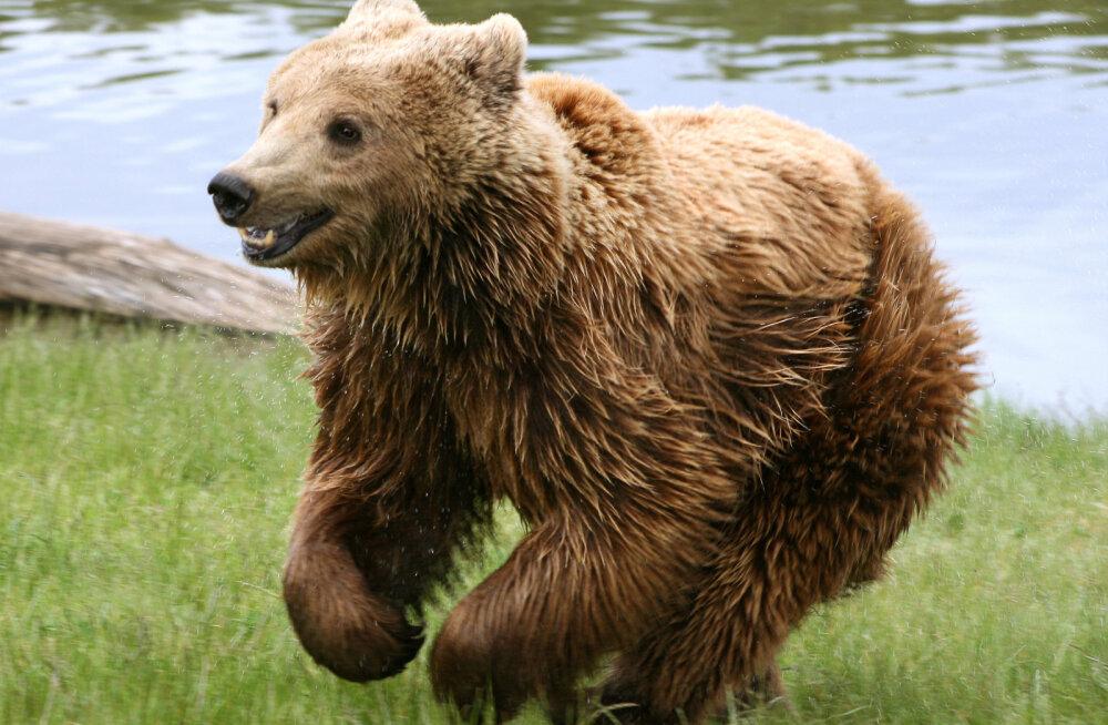 Praegusel karude jooksuajal tasub metsas olla ettevaatlik