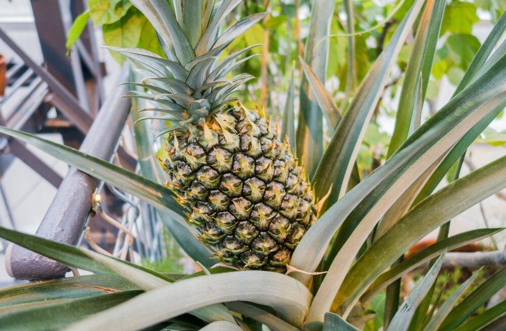 Ananassitest: kas tegemist on imeviljaga, mis meie armuvedelikud õige magusaks muudab?