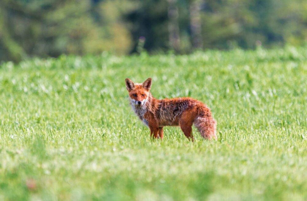 Metsloomade marutaudivastane vaktsineerimine on selleks korraks lõppenud
