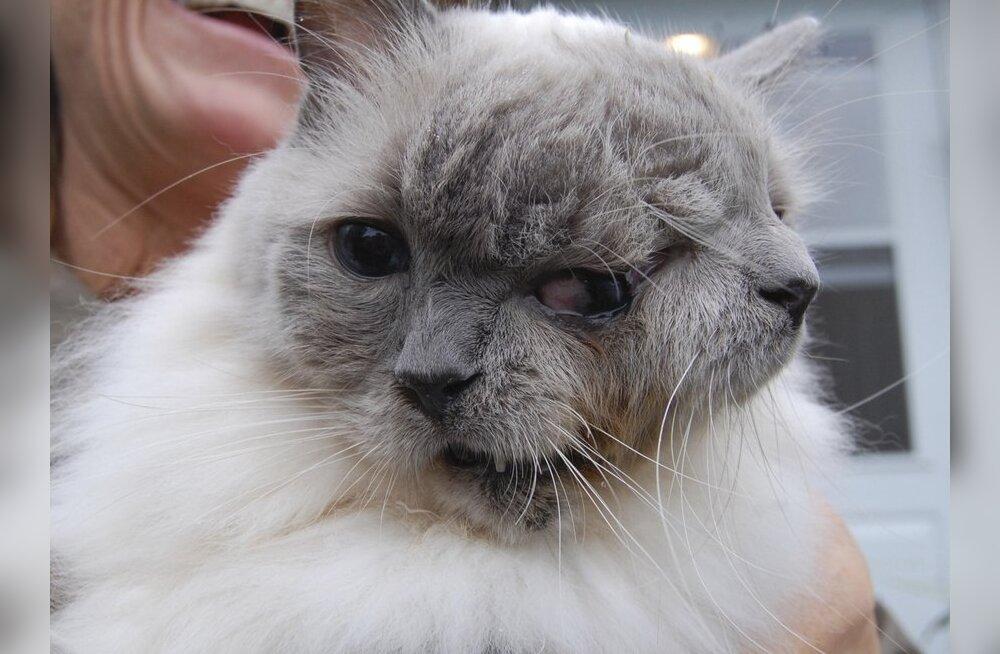 Maailma vanim kahe näoga kass tähistas 12. sünnipäeva
