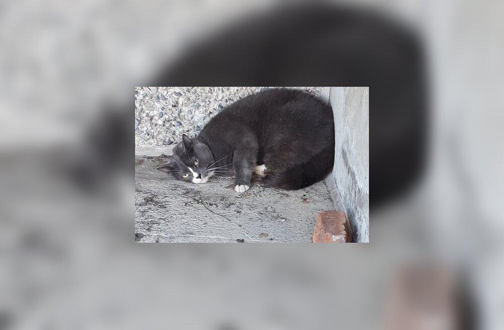 Kuuendalt korruselt alla kukkunud kassi käpp tuleb amputeerida