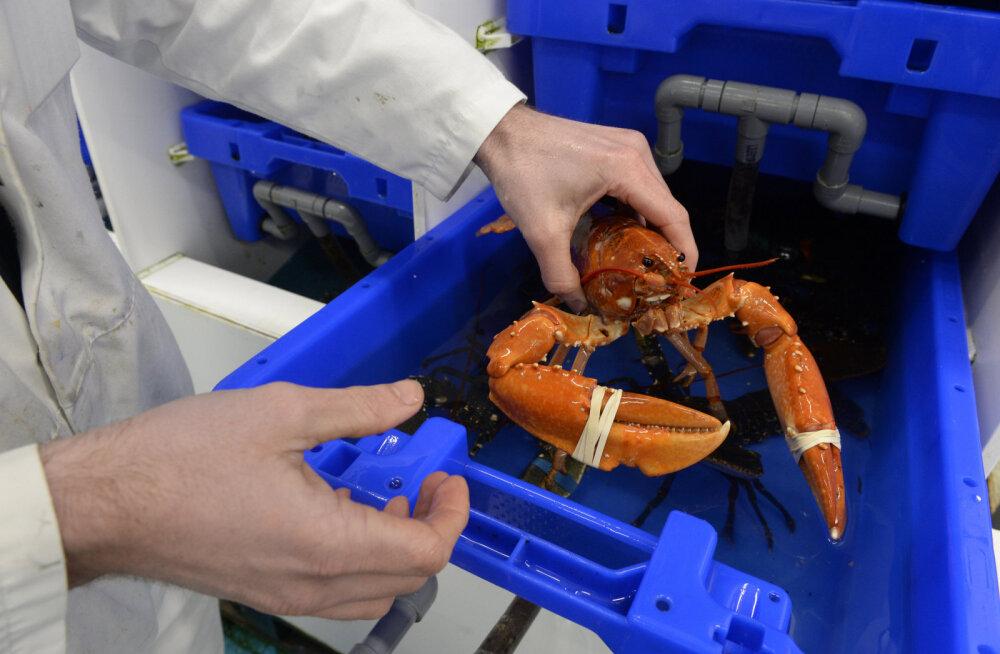 MIT teadlased tegelevad painduva kehaturvise arendamisega, eeskujuks on võetud homaarid