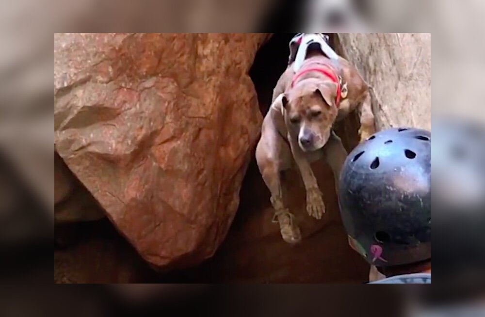 VIDEO   Narkomajast päästetud hirmunud pitbullterjer leidis omale hulljulge kire!