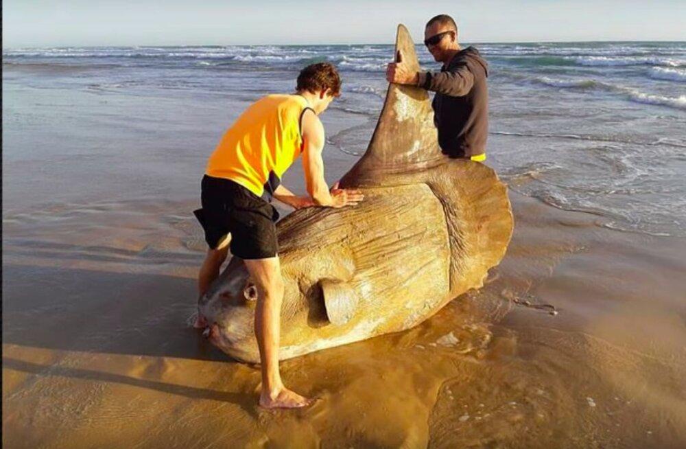 В Австралии на пляже обнаружили двухметровую луну-рыбу. Сначала отдыхающие подумали, что это розыгрыш