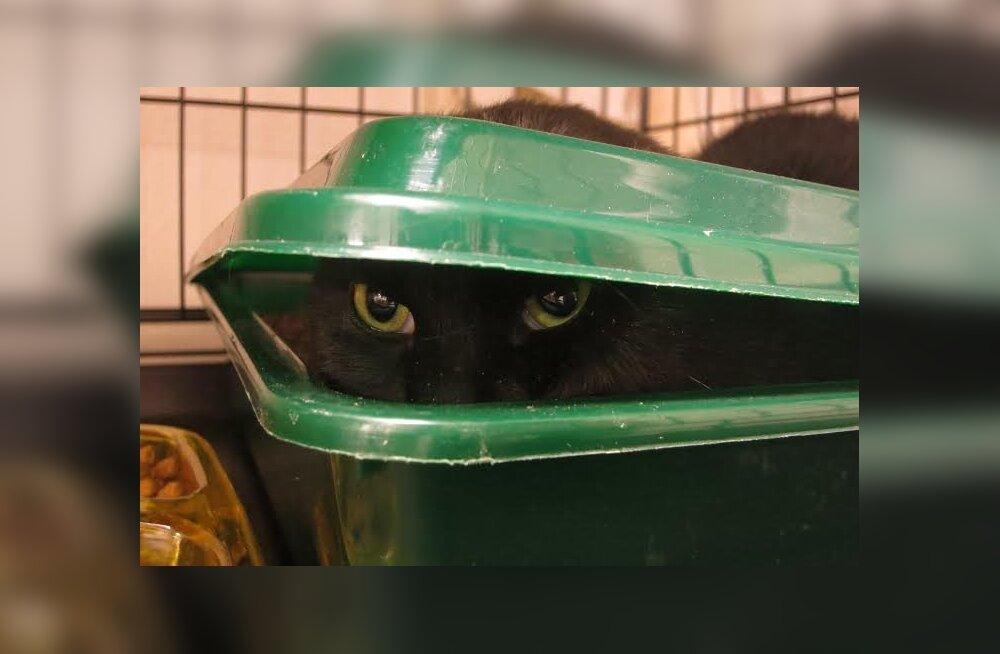 Nuksiku lugu: mustvalge tõrges kass — kas talle kodu leidmine on võimalik?