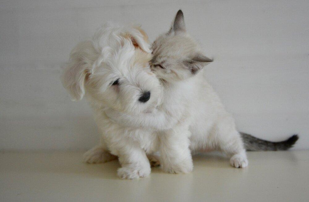 Kangelaslik koer on aidanud üles kasvatada rohkem kui 70 kassipoega
