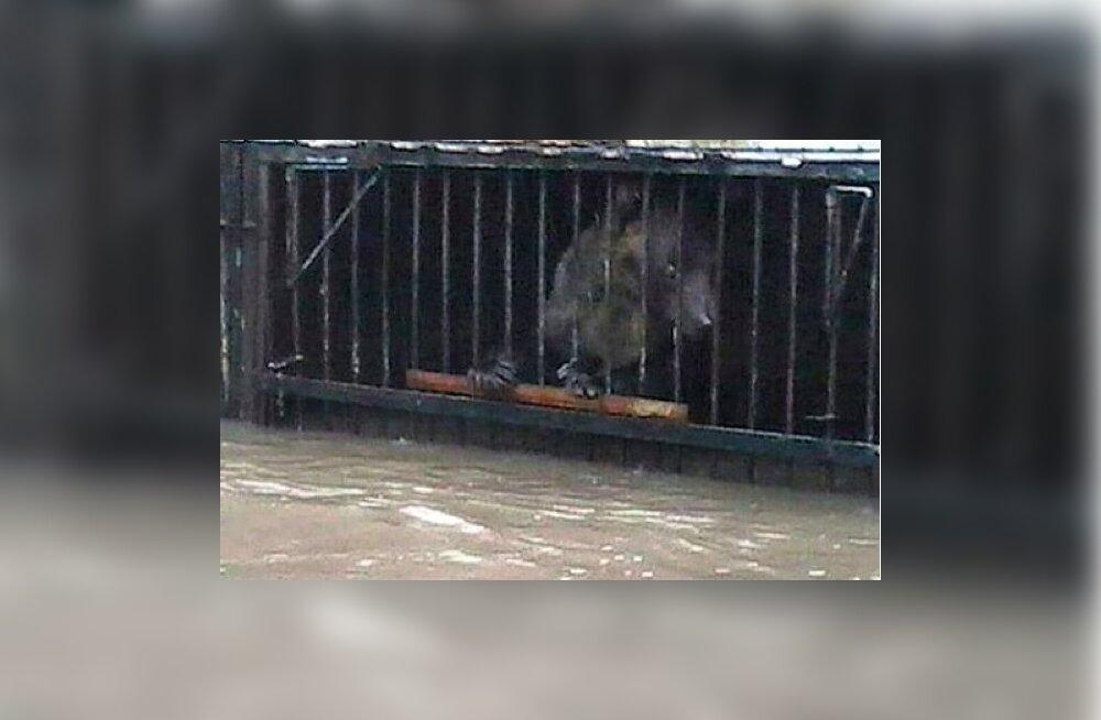 Tragöödia Venemaa loomaaias: taifuuni põhjustatud üleujutused hukutavad puuriloomi