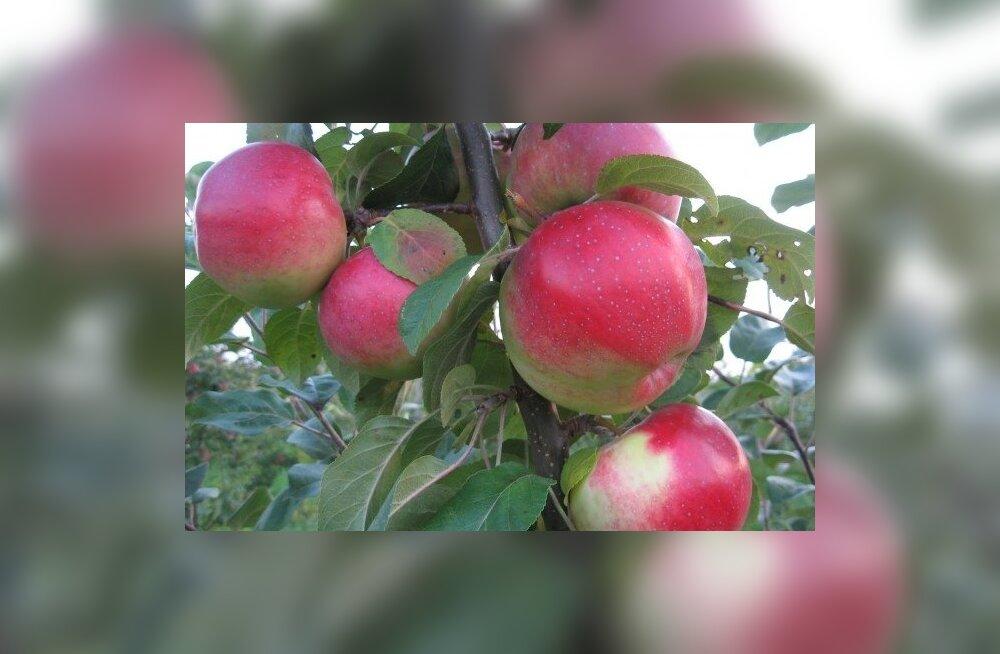 Üleni punased õunad, kas tõesti Eestis kasvatatud?