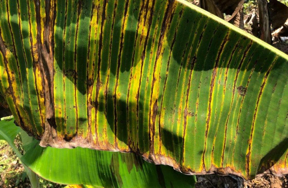 Kliimamuutuse tagajärjed võivad meid tulevikus banaanidest ilma jätta