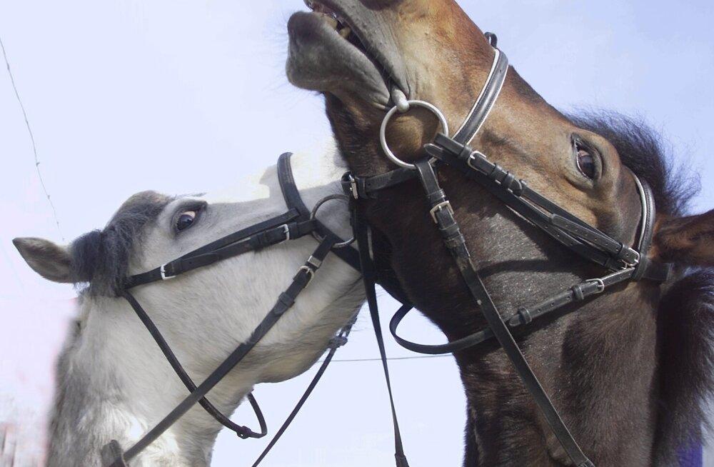 Põhja-Tallinnas ringi tiirutanud hobused vigastasid väikelast. Pilt on illustratiivne.
