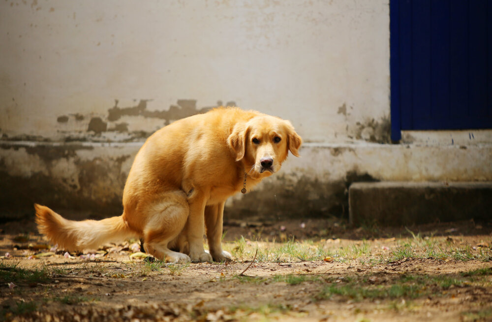 Miks koer oma tagumikku vahel mööda maad lohistab?