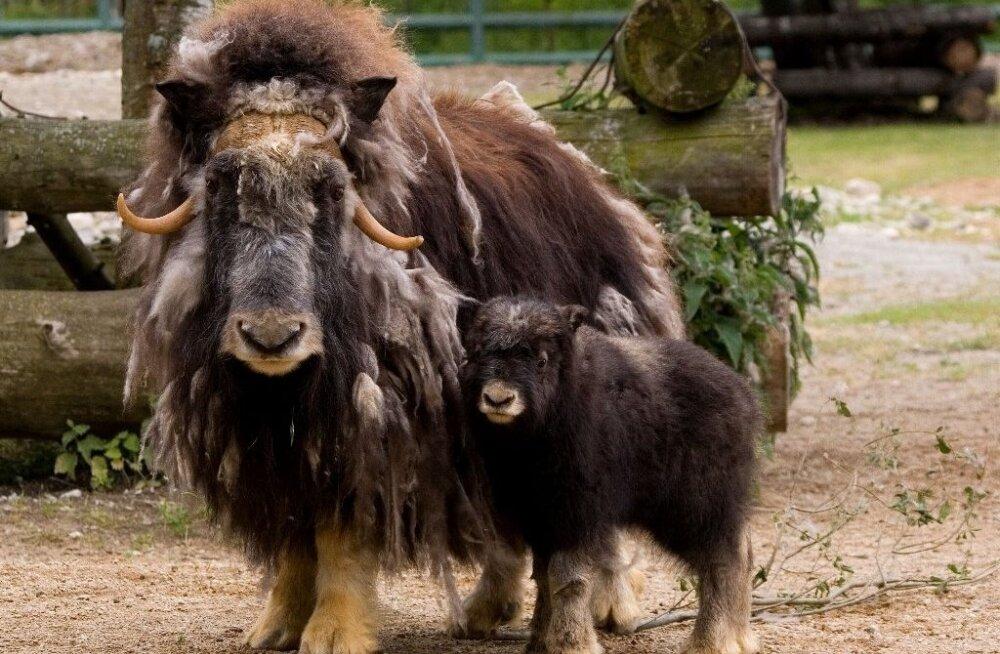VIDEOD: Nädal Tallinna loomaaias: muskusveisepoja keerulised suhted isaga, jaanilaupäeval tähitas sünnipäeva šimpans Pino