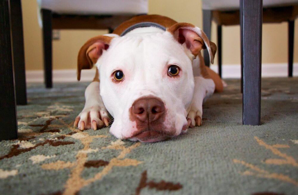 Pane tähele! 7 põhjust, miks koerale ei tohiks konti anda