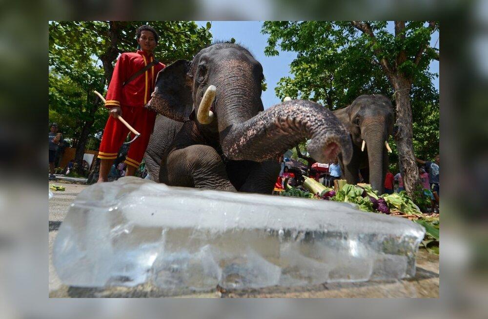 Imeline loodus: elevandid kasutavad kehakarvu originaalsel moel