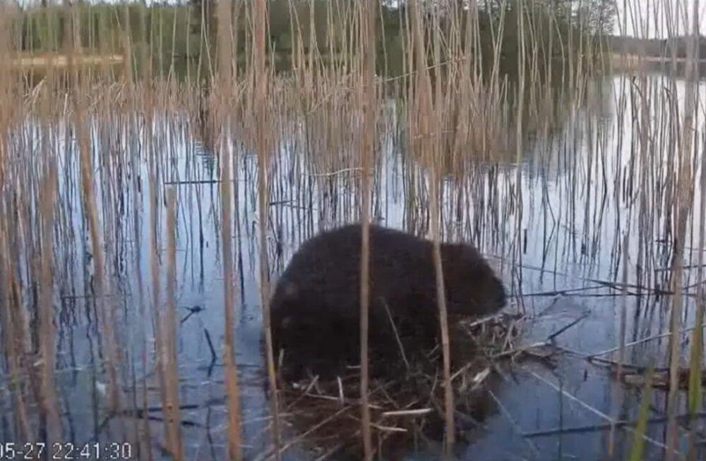 HARUKORDNE VIDEO | Lõuna-Eestis ronis kobras tuttpüti pessa