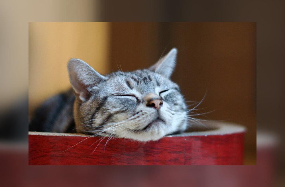 Geeniuuring: kassid hakkasid koduloomadeks omal vabal tahtel