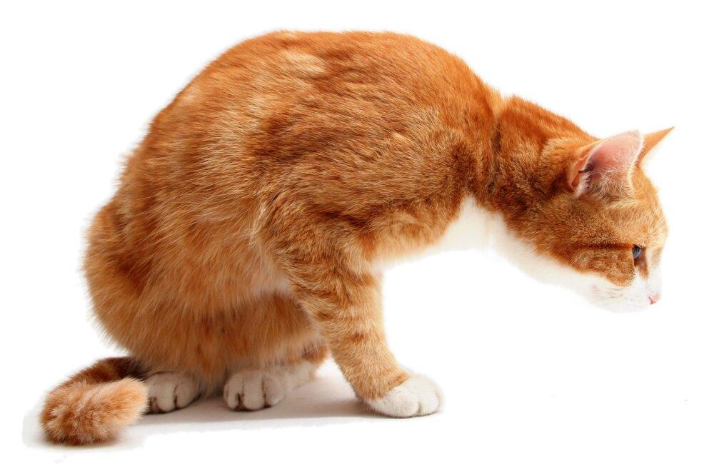 Kaitse oma sõpra: need asjad sinu majapidamises on kassile kõige ohtlikumad