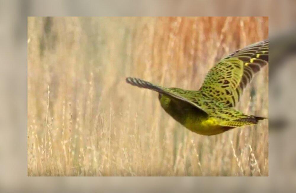 FOTOD | Üle sajandi kadunud olnud üliharuldast lindu märgati taas