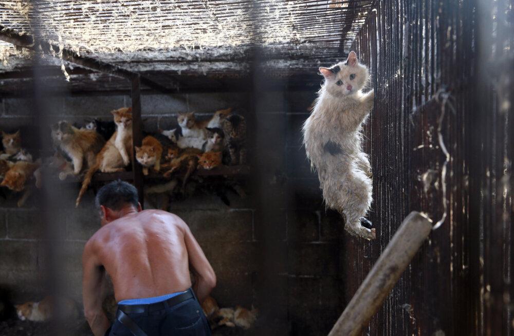 Kas see on normaalne? Hiinas tapetakse koeraliha festivaliks üle kümne tuhande elusolendi