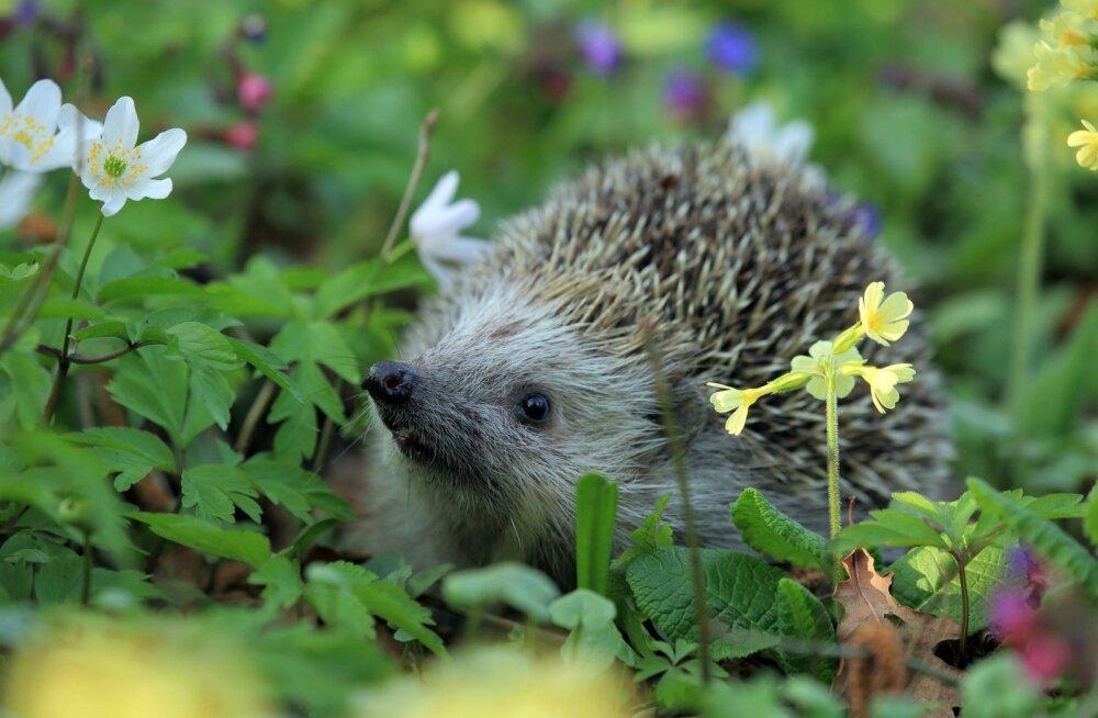 Eestimaa Loomakaitse Liit hoiatab: märka siili, kes sooja talve tõttu liiga vara ärkab