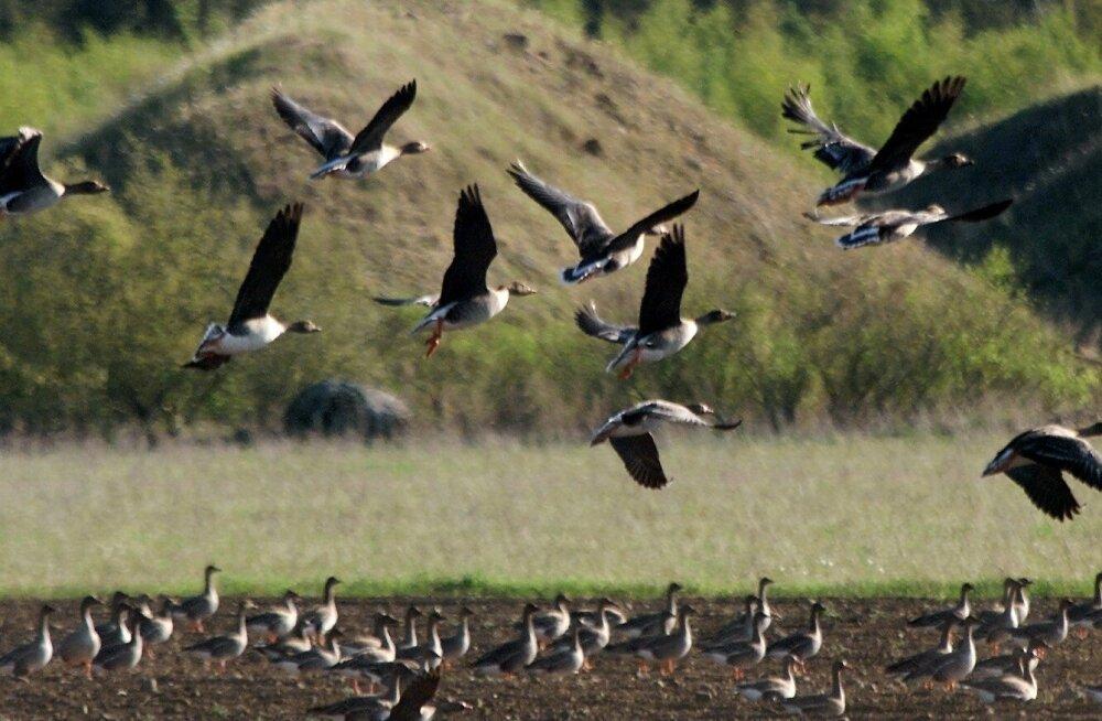 Ornitoloogiaühing on hanede kevadjahi vastu