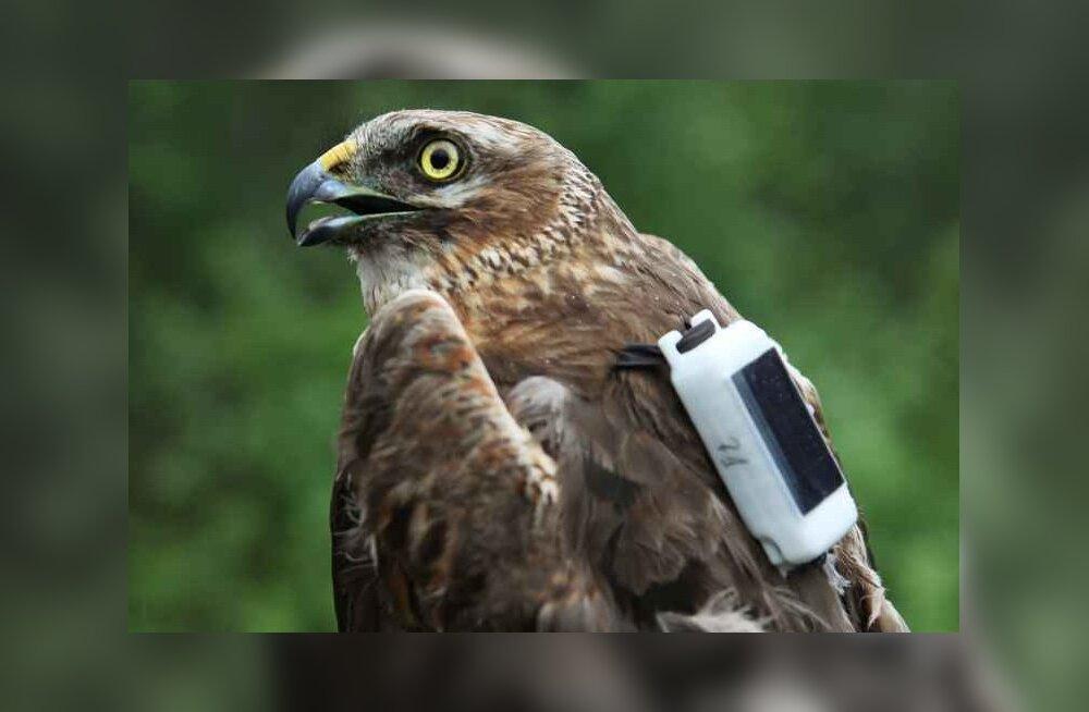 Linnuvaatleja: läbi Eesti rändab hetkel GPS-seadmega varustet Soome stepi-loorkull
