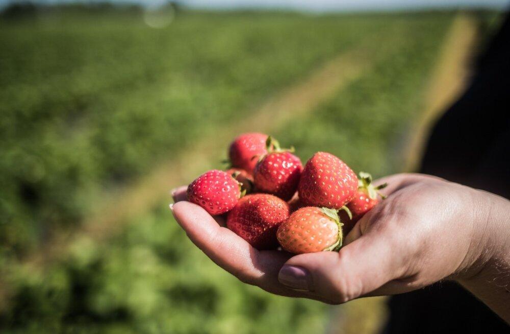 Laari Talu maasikad