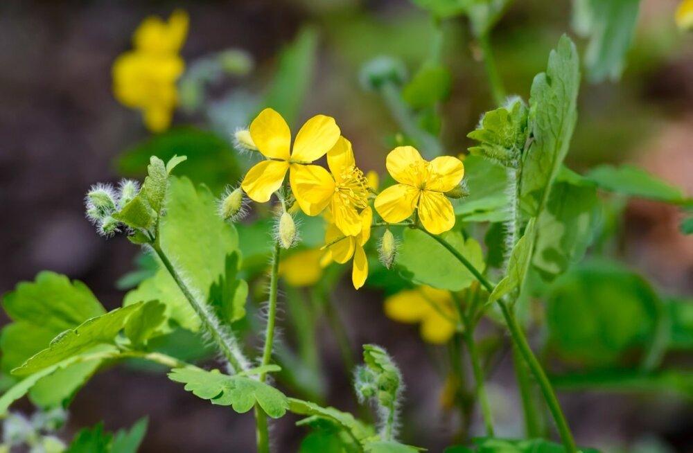 Taime tuleb koguda õitsemise ajal. Kuivatatud ja peenestatud vereurmarohust saab näiteks teravalõhnalist pulbrit maakirpude tõrjeks.