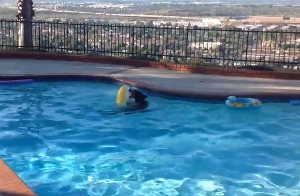 Naerutav VIDEO: Vaat kus lops! Naist ehmatas basseinis hullanud karumõmm