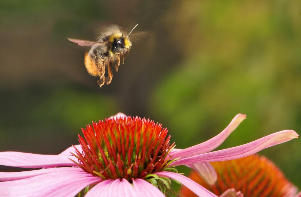 Mis juhtub, kui mesilased maailmast kaovad?