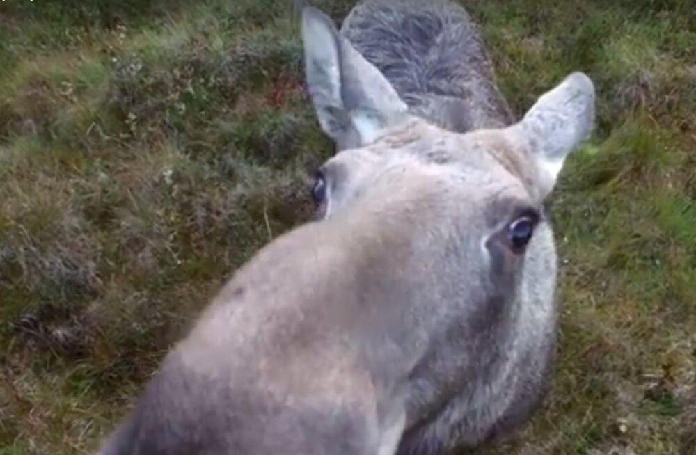 VAHVA VIDEO: Uudishimulik põder teda filmivat drooni nuuskimas