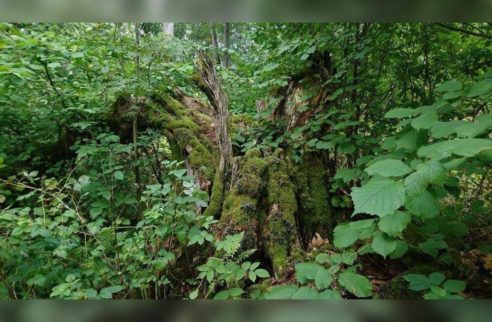Hiite kuvavõistluse võidutöö näitab looduslikku pühapaika kui maailma vanimat kaitseala