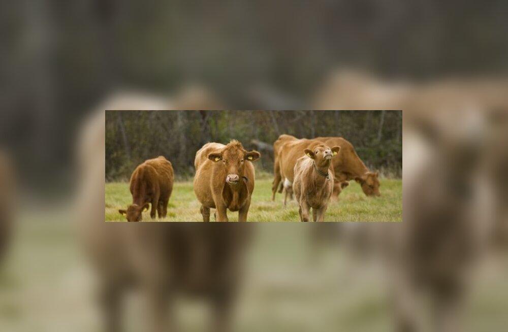Eesti maatõugu lehm.