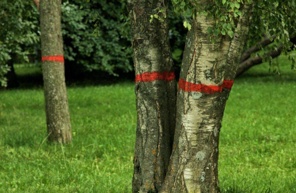 ФОТО читателя Delfi: Приговоренные деревья. В чем они виноваты?