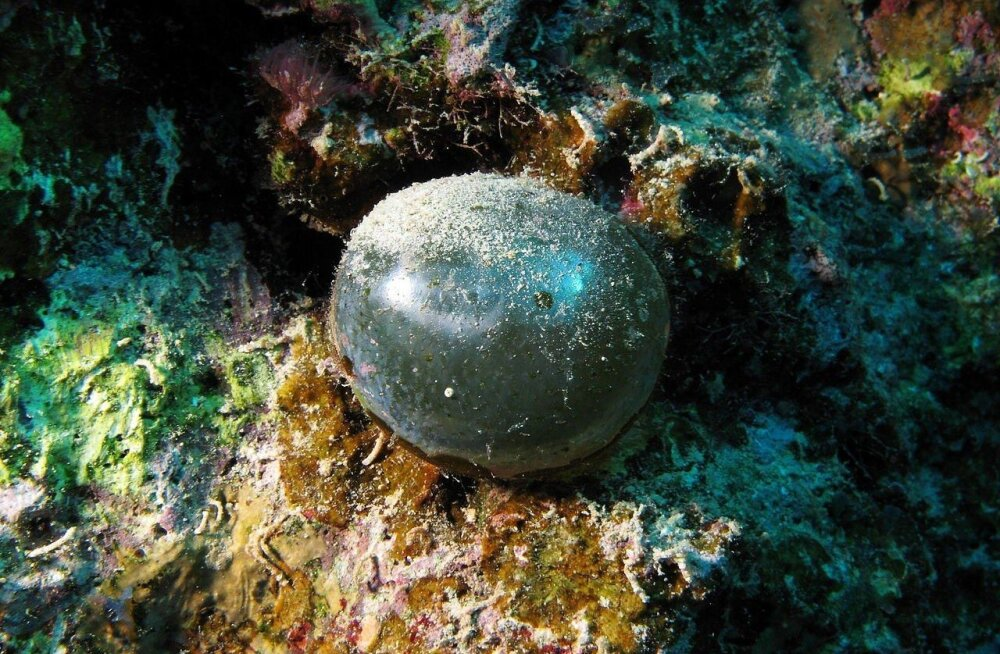 Meremehe silmamuna - imeilus üherakuline organism
