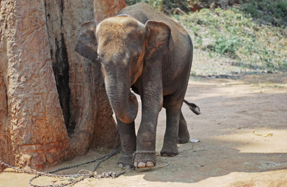 Kuulsused nõuavad lõppu julmale elevantide loodusest püüdmise praktikale