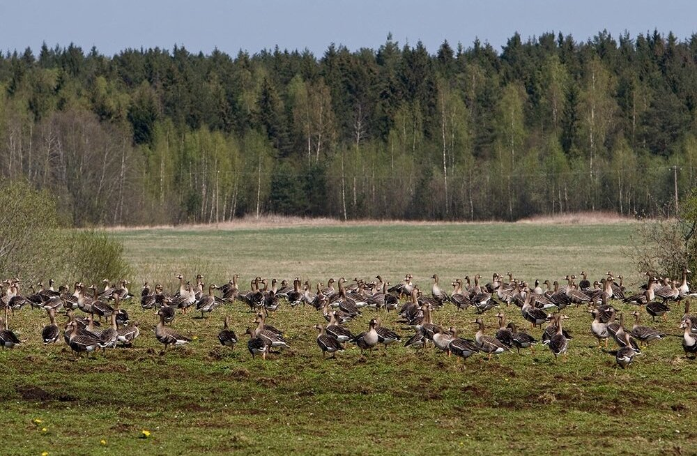 Gruusias seisneb jahipidamine peamiselt vaid seal talvituvate lindude küttimises. Meil vastupidi püütakse jahti rändlindudele senisest rangemalt reguleerida.