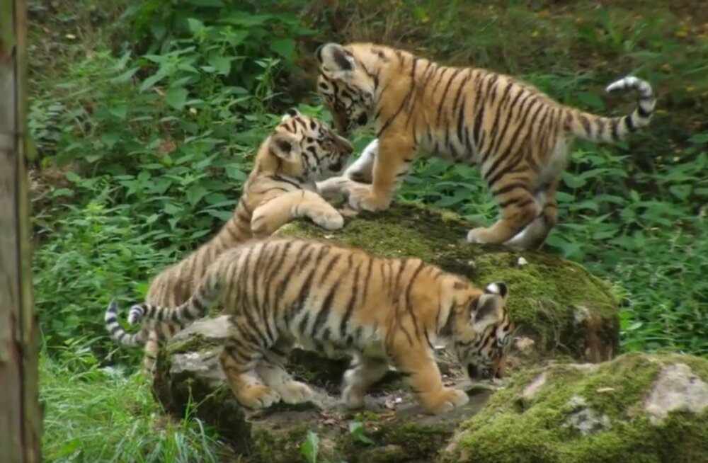 В Чехии окрестили потомство таллиннского тигра Боцмана и дали зверятам имена