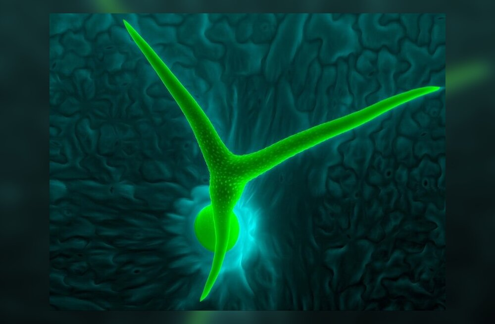 Fotoseeria hariliku müürlooga trihhoomidest ehk lehekarvadest