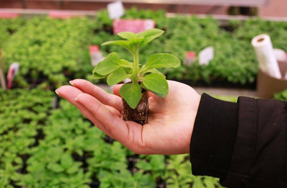 Ettekasvatatud väiketaimest kasvab kodus tugev taim.
