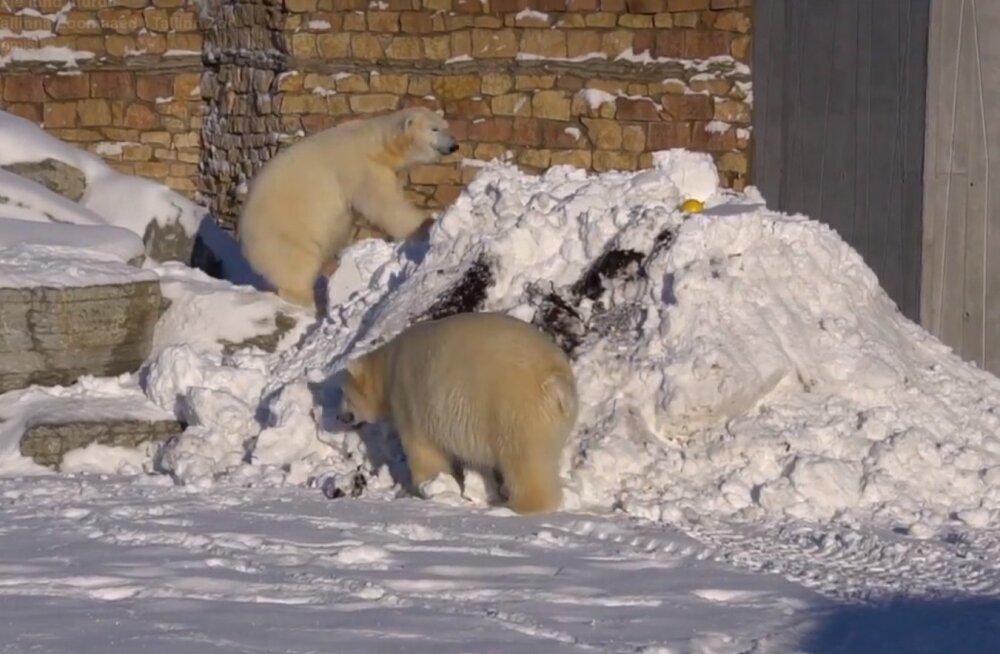 ВИДЕО: Белые медведи Арон и Фрида порадовали посетителей Таллиннского зоопарка играми в снегу