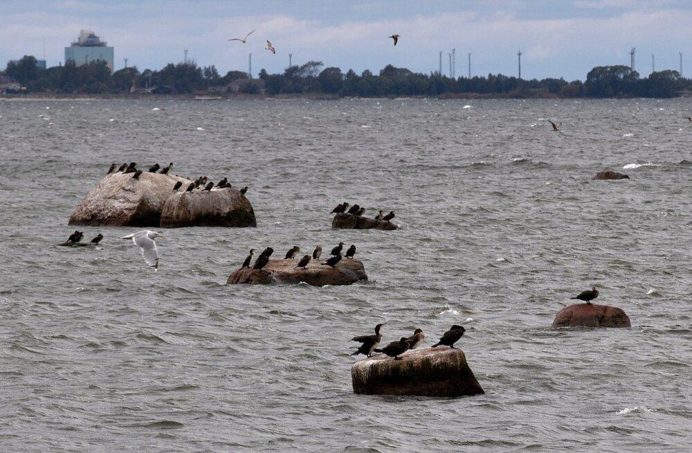 Kormoranid Tallinna lahel.
