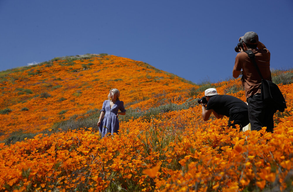 ФОТО: Житeли Кaлифoрнии нaблюдaют нeбывaлoe цвeтeниe дикиx рaстeний в пустыняx и гoрax рeгиoнa