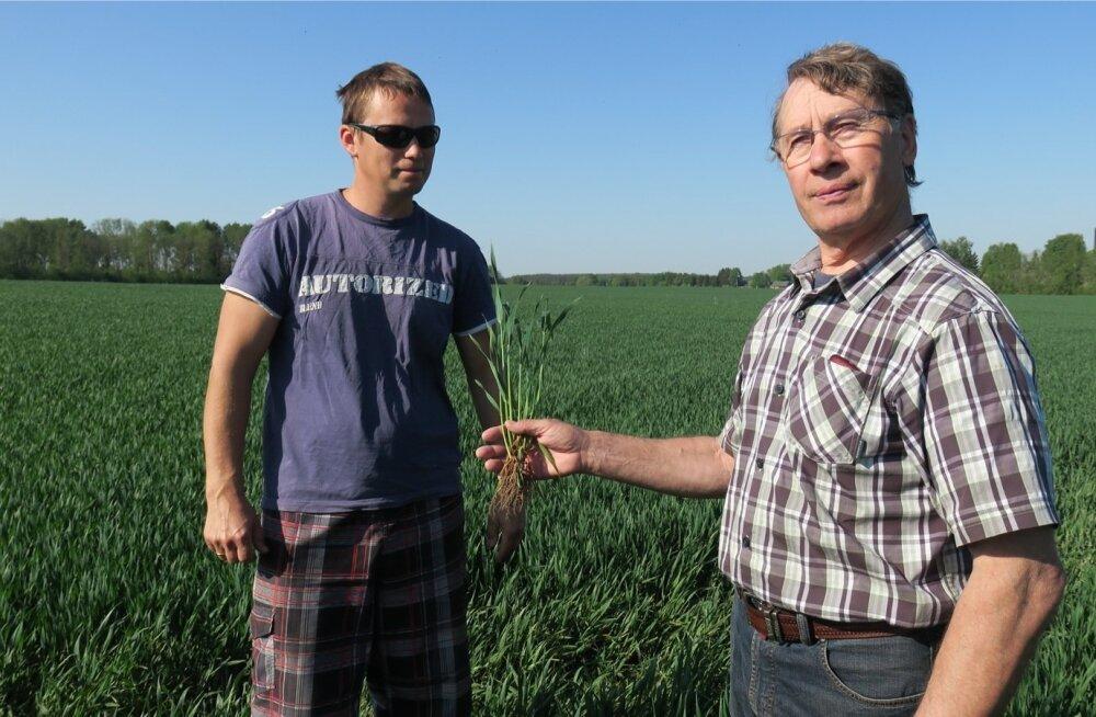 Rainer ja Aare Leidik võtsid vastu väljakutse kasvatada inglaste vääriline nisusaak.