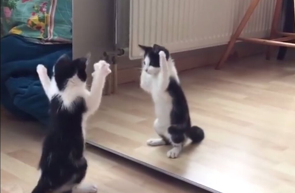Naerutav VIDEOKLIPP   Kass, kes esimest korda peegliga kohtus